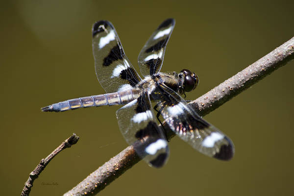 Photograph - Dragonfly Twelve Spot Skimmer by Christina Rollo