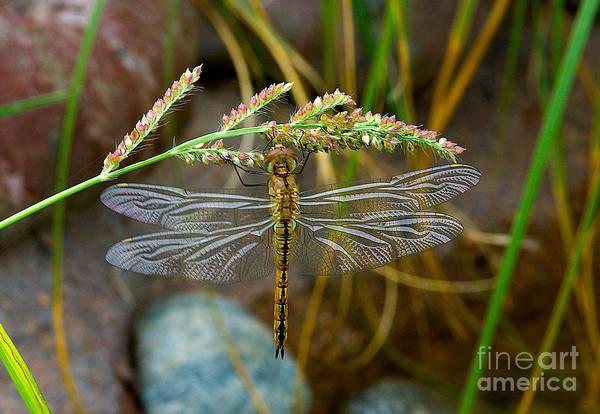 Photograph - Dragonfly X-ray by Mae Wertz