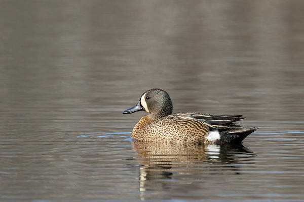 Riverway Photograph - Drake Blue-winged Teal by Linda Arndt