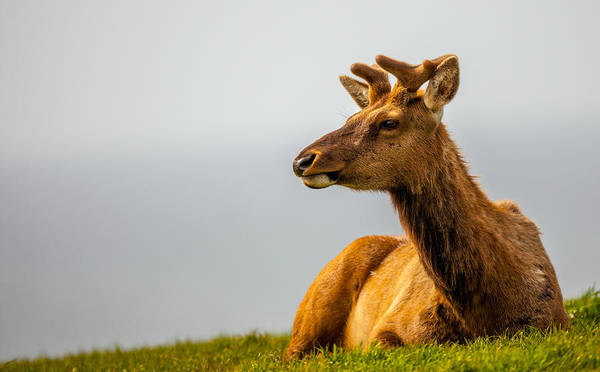 Photograph - Drake Elk by Kevin  Dietrich