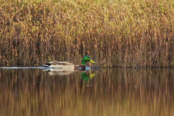 Greenhead Photograph - Drake Mallard by Linda Arndt