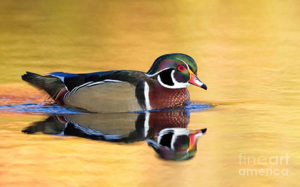 Photograph - Drake Wood Duck by Joshua Clark