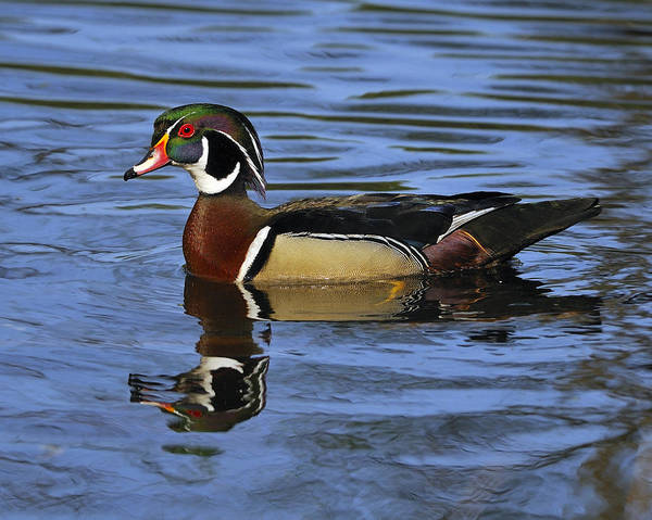 Photograph - Drake Wood Duck by Tony Beck