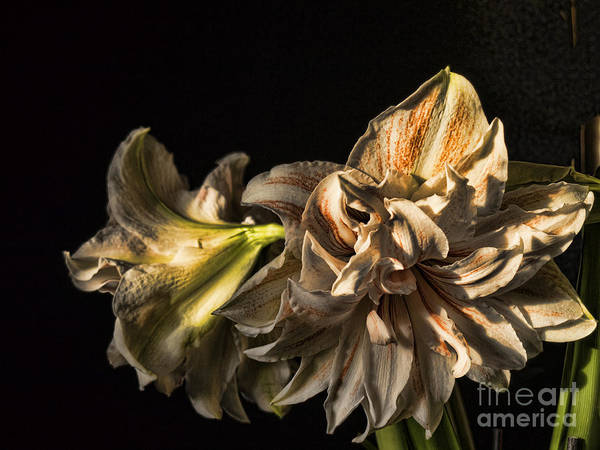 Photograph - Dramatic Amaryllis by Brenda Kean
