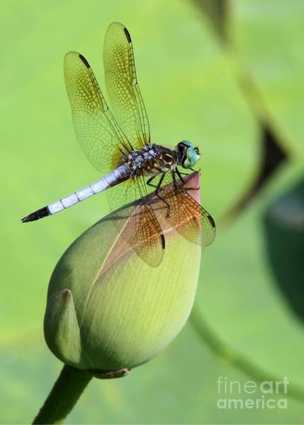 Photograph - Dramatic Dragonfly by Sabrina L Ryan