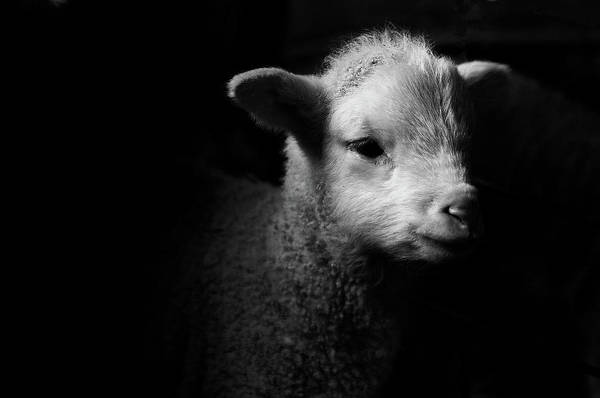 Black Background Photograph - Dramatic Lamb Black & White by Michael Neil O'donnell