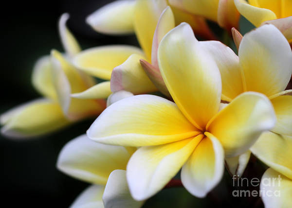Photograph - Dramatic Plumeria by Sabrina L Ryan