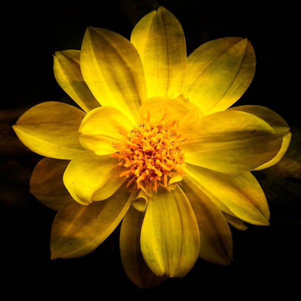 Photograph - Dramatic Yellow Dahlia by  Onyonet  Photo Studios