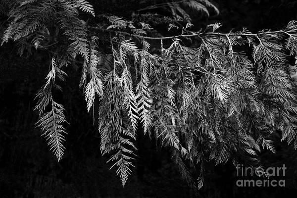 Photograph - Draping Cedar by Charmian Vistaunet