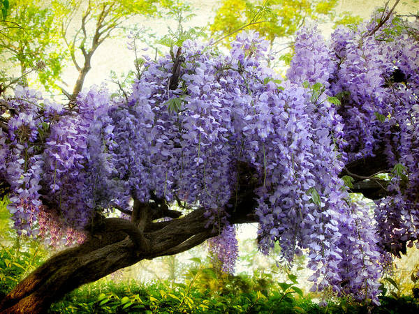 Wisteria Photograph - Draping Wisteria by Jessica Jenney