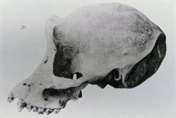 Wall Art - Photograph - Drawing By Dubois Of Java Man Skull (h.erectus) by Science Photo Library