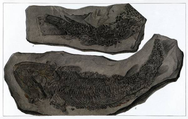 Wall Art - Photograph - Drawing Of Fossil Fish (gyroptychium Sp.) by Royal Institution Of Great Britain / Science Photo Library