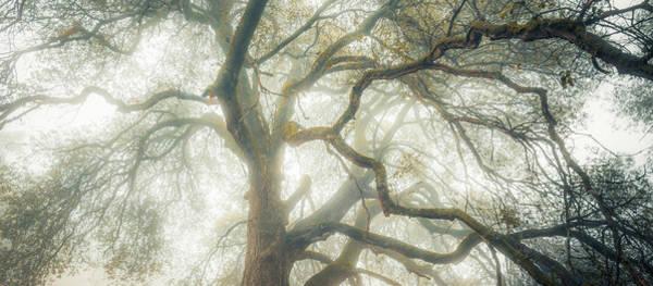 Coast Live Oak Photograph - Dream Oak by Alexander Kunz