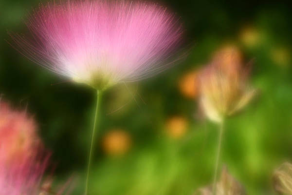Mimosas Photograph - Dream Seeker by Michael Eingle