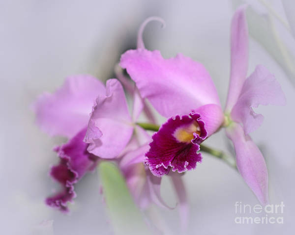 Photograph - Dreaming Of Orchids by Sabrina L Ryan