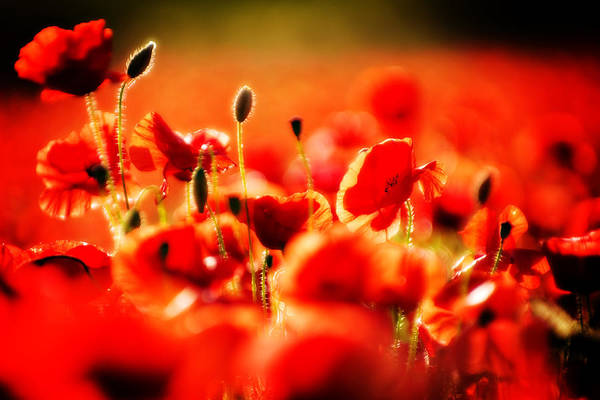 Wall Art - Photograph - Dreaming Of Poppies by Meirion Matthias