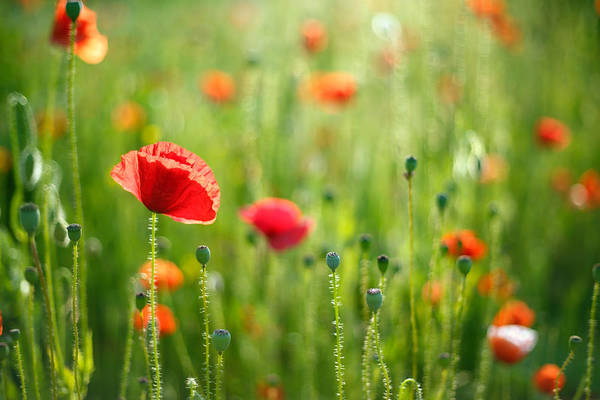 Concern Photograph - Dreamscape - Field Of Poppies by Roeselien Raimond