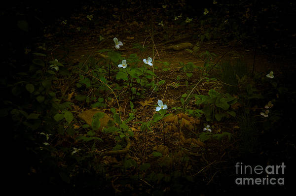 Photograph - Dreamscapes - Trillium Scattered by Kathi Shotwell