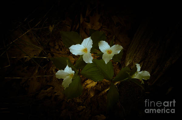 Photograph - Dreamscapes - Trilliums 1 by Kathi Shotwell