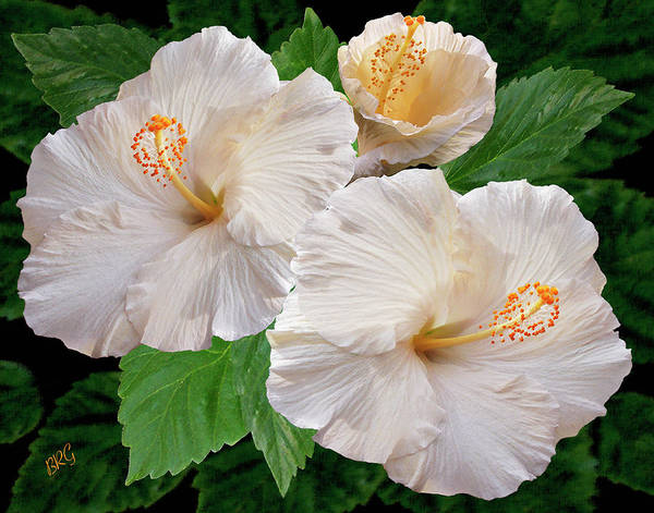 Photograph - Dreamy Blooms - White Hibiscus by Ben and Raisa Gertsberg