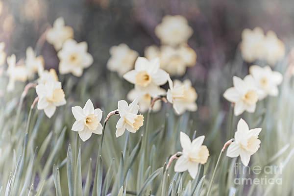 Wall Art - Photograph - Dreamy Daffodils by Elena Elisseeva
