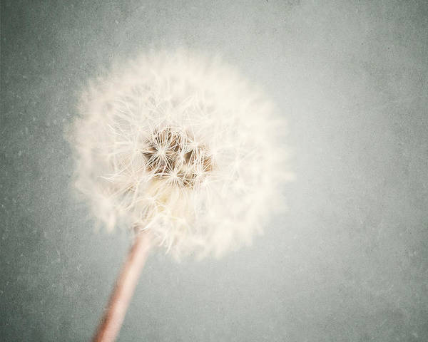 Wall Art - Photograph - Dreamy Dandelion In Pastel Blue And Cream  by Lisa Russo