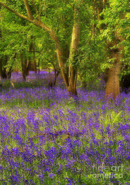 Photograph - Dreamy English Bluebell Wood by Martyn Arnold