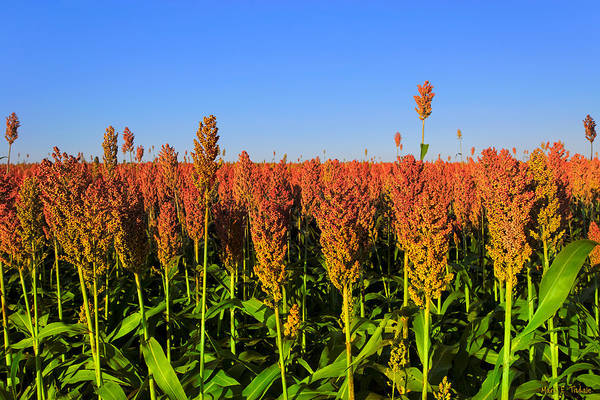 Photograph - Dreamy Field Of Sorghum In The Afternoon Sun by Mark Tisdale
