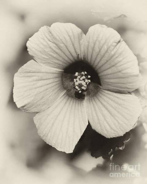 Photograph - Dreamy Sepiatone Rosette Hibiscus by Sabrina L Ryan