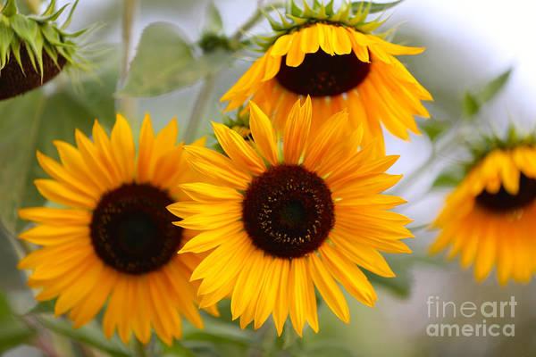 Photograph - Dreamy Sunflower Day by Carol Groenen
