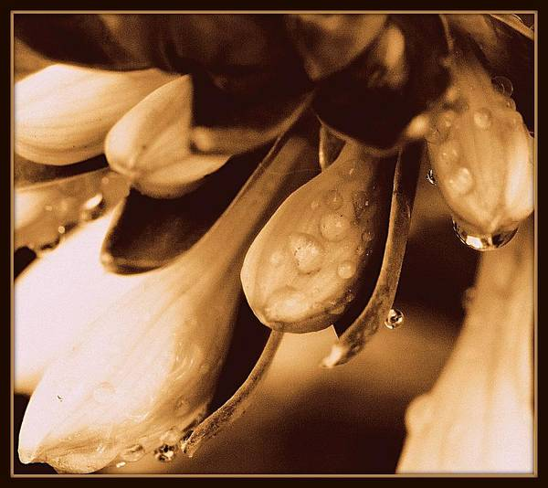 Singly Photograph - Drenched In White IIi Sepia Tone Macro by Rosemarie E Seppala