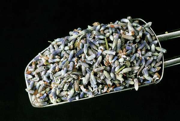 Tonic Photograph - Dried Lavender by Th Foto-werbung/science Photo Library