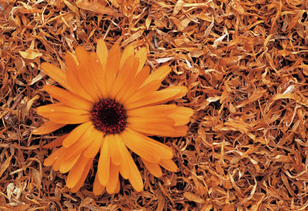 Bee Sting Photograph - Dried Marigold Petals by Th Foto-werbung/science Photo Library