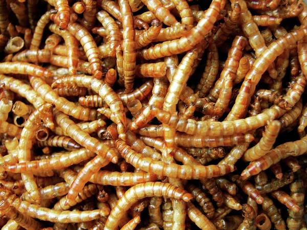 Larva Wall Art - Photograph - Dried Mealworm Larva (tenebrio Molitor) by Ian Gowland/science Photo Library