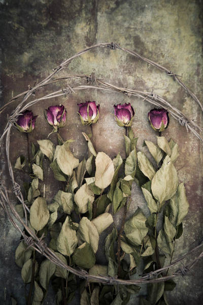 Photograph - Dried Roses And Barbed Wire by Maria Heyens