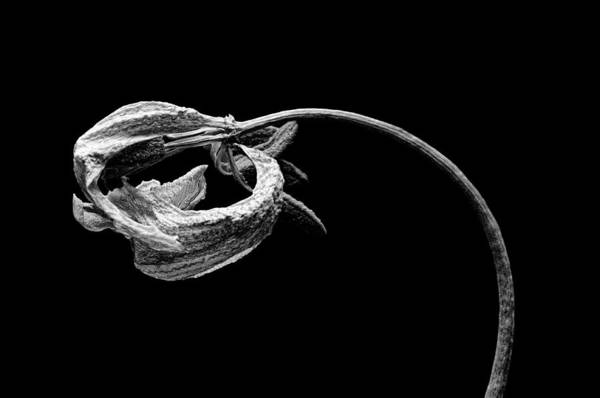 Photograph - Dried Tulip In Black And White by Phyllis Meinke