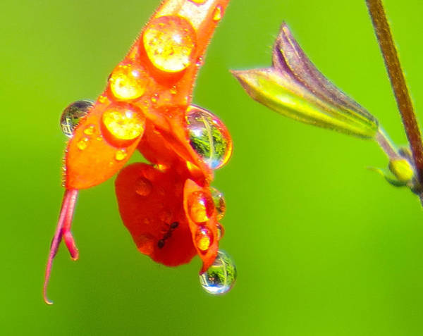 Photograph - Dripping Flower by Dart and Suze Humeston