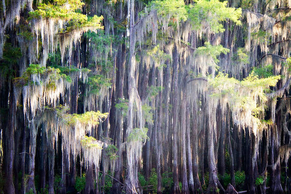 Bald Cypress Photograph - Dripping Moss by Lana Trussell