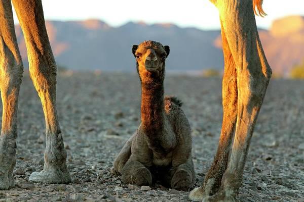 Dromedary Photograph - Dromedary Camel Calf by Martin Rietze