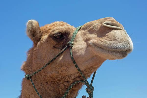 Dromedary Photograph - Dromedary Camel by Jim West/science Photo Library