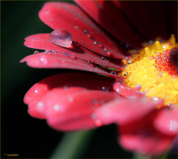 Gota Photograph - Drops In The Flower by Antonio J Pizarro