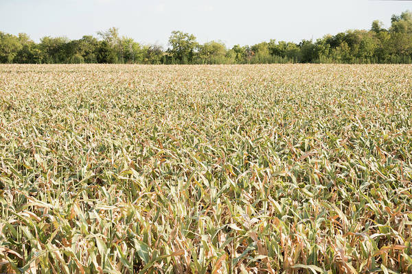 Damaged Photograph - Drought Ravaged Crops by Dszc
