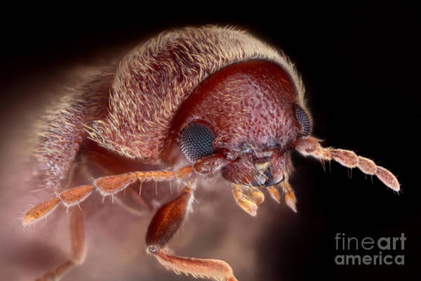 Photograph - Drugstore Beetle by Matthias Lenke
