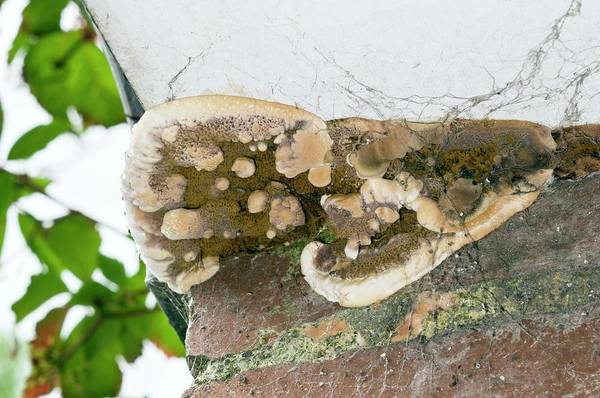Rot Photograph - Dry Rot Fungus by Sinclair Stammers/science Photo Library