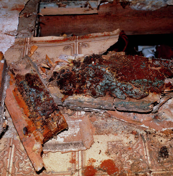 Dry Rot Under Floorboards Of A House Art Print