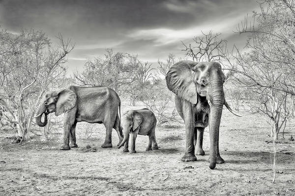 Elephants Photograph - Dry Season (bw) by Piet Flour