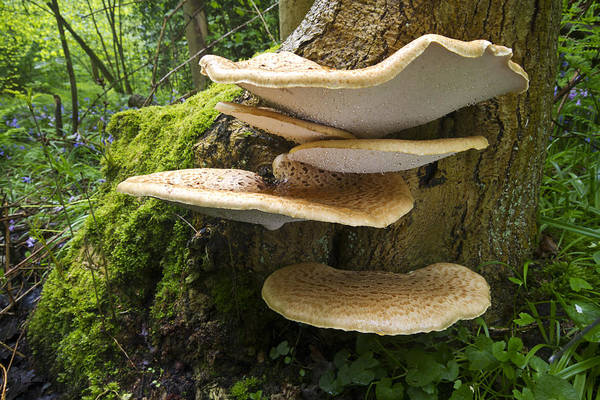 Noord Holland Wall Art - Photograph - Dryads Saddle Mushrooms On Tree Trunk by Edwin Rem