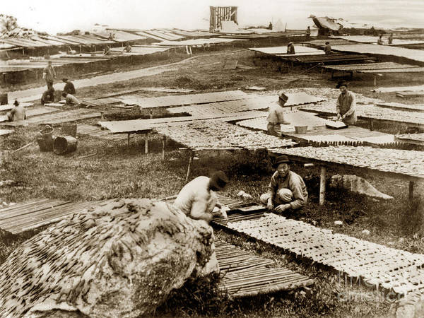 Photograph - Drying Squid At The Chinese Fishery Monterey Calif. C. E. Watkins Photo  1886 by California Views Archives Mr Pat Hathaway Archives