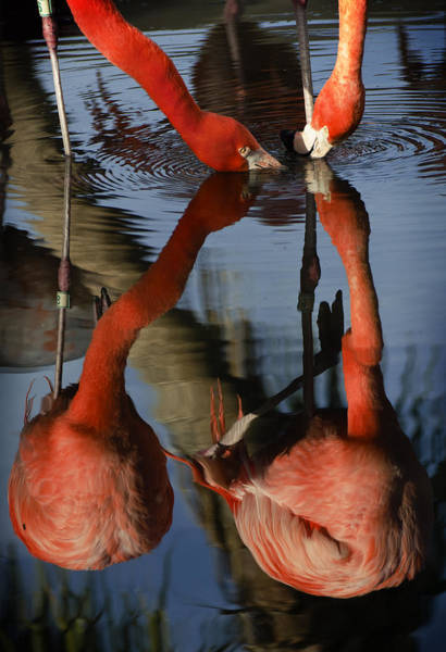 Photograph - Dual Flamingo Reflections by Dave Dilli