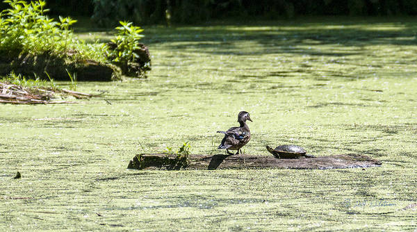 Photograph - Duck And Turtle by Edward Peterson